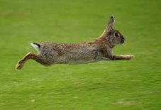 Pic _ leaping rabbit
